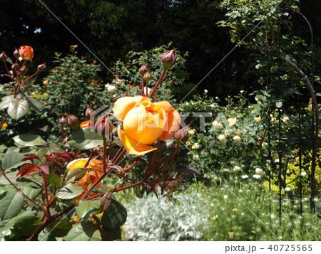 オレンジ色のバラの花 40725565
