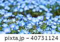 ネモフィラ 青色 満開の写真 40731124