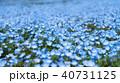 ネモフィラ 青色 瑠璃唐草の写真 40731125