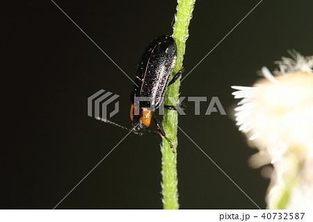 生き物 昆虫 クルミハムシ、名前の通りサワグルミやオニグルミが食草。時に丸裸にするそうです 40732587
