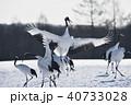 ダンス 鳥 タンチョウの写真 40733028
