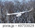 タンチョウ ツル 飛翔の写真 40733029
