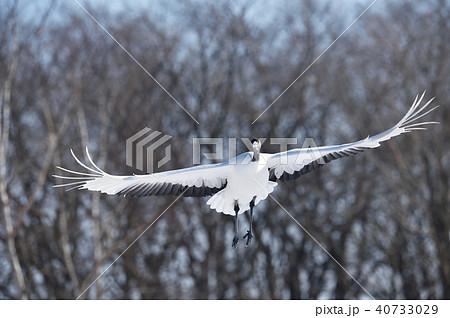 正面から飛んでくるタンチョウ(北海道・鶴居) 40733029