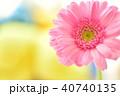 ガーベラ ピンク 花の写真 40740135