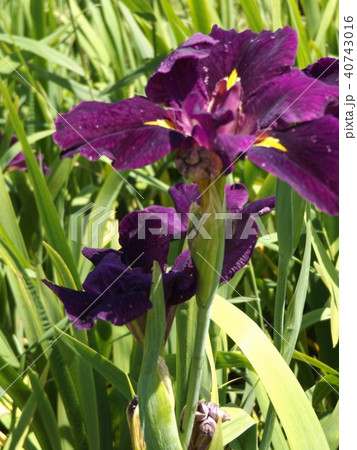 潮来アヤメ園の紫色のアヤメの花 40743016