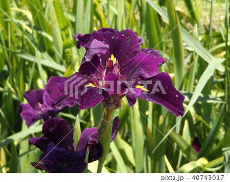 潮来アヤメ園の紫色のアヤメの花 40743017