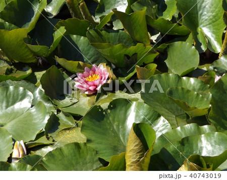 桃色のスイレンの花 40743019