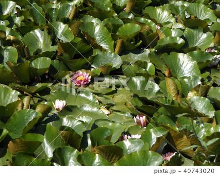 桃色のスイレンの花 40743020