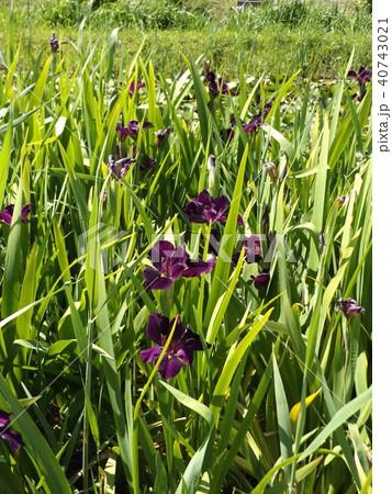 潮来アヤメ園の紫色のアヤメの花 40743021