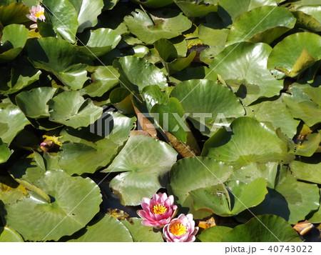 桃色のスイレンの花 40743022