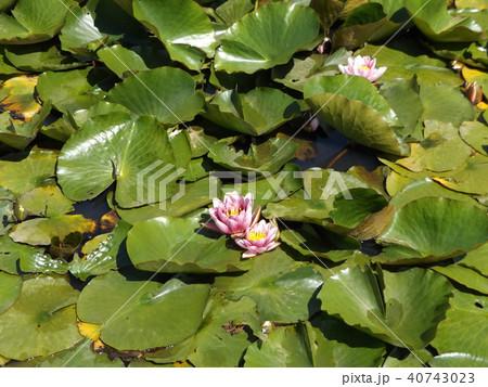 桃色のスイレンの花 40743023