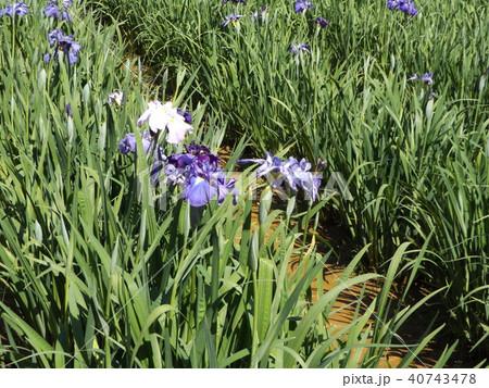 潮来アヤメ園の紫色と白色の菖蒲の花 40743478