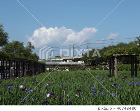 潮来アヤメ園の紫色と白色の菖蒲の花 40743480