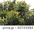 冬に花咲ビワの実熟しています 40743984