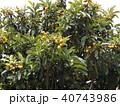 冬に花咲ビワの実熟しています 40743986
