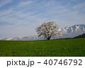 桜 一本桜 古木の写真 40746792