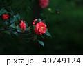 つばき カメリア ツバキ属の写真 40749124