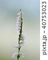 ネジバナ 花 ラン科の写真 40753023
