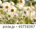 ヒナギク 咲く 花の写真 40758367