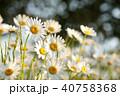 ヒナギク 咲く 花の写真 40758368