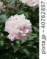 芍薬 花 八重咲きの写真 40762897
