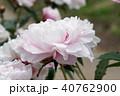 芍薬 花 八重咲きの写真 40762900