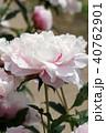 芍薬 花 八重咲きの写真 40762901