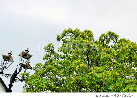 菩提樹 40775617