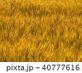 麦 穀物 麦畑の写真 40777616