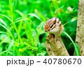 リス 動物 シマリスの写真 40780670