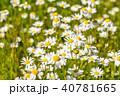 カンシロギク 満開 花の写真 40781665