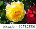植物 花 バラの写真 40782550