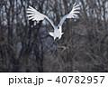 飛ぶ 鶴 丹頂の写真 40782957