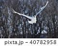 飛ぶ 鶴 丹頂の写真 40782958