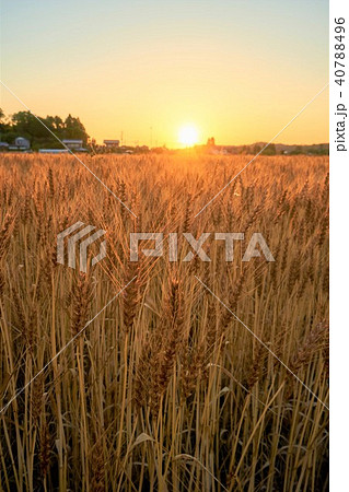 千葉県 麦畑の夕日 睦沢町 40788496