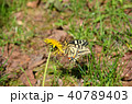 キアゲハ 蝶 花の写真 40789403