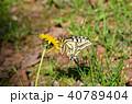 キアゲハ 蝶 花の写真 40789404