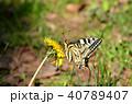 キアゲハ 蝶 花の写真 40789407