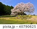 納戸料の百年桜 桜 茶畑の写真 40790625
