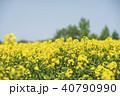 菜の花 菜の花畑 花の写真 40790990