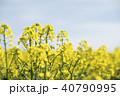 菜の花 菜の花畑 花の写真 40790995