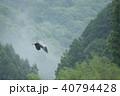 アオサギ サギ 飛翔の写真 40794428