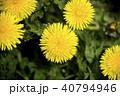 タンポポ 花 植物の写真 40794946