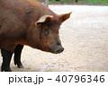 ブタ ぶた 豚 横顔 40796346