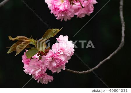 八重桜満開 40804031