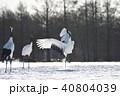 鶴 鳥 タンチョウの写真 40804039