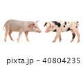 ぶた ブタ 豚の写真 40804235