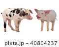 ぶた ブタ 豚の写真 40804237