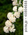 ピラカンサ 花 白の写真 40804688
