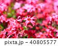 芝桜 植物 ハナシノブ科の写真 40805577